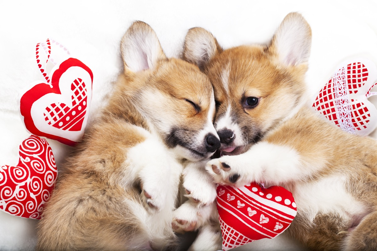 corgis fall asleep in each other's arms photos of snoozing dogs