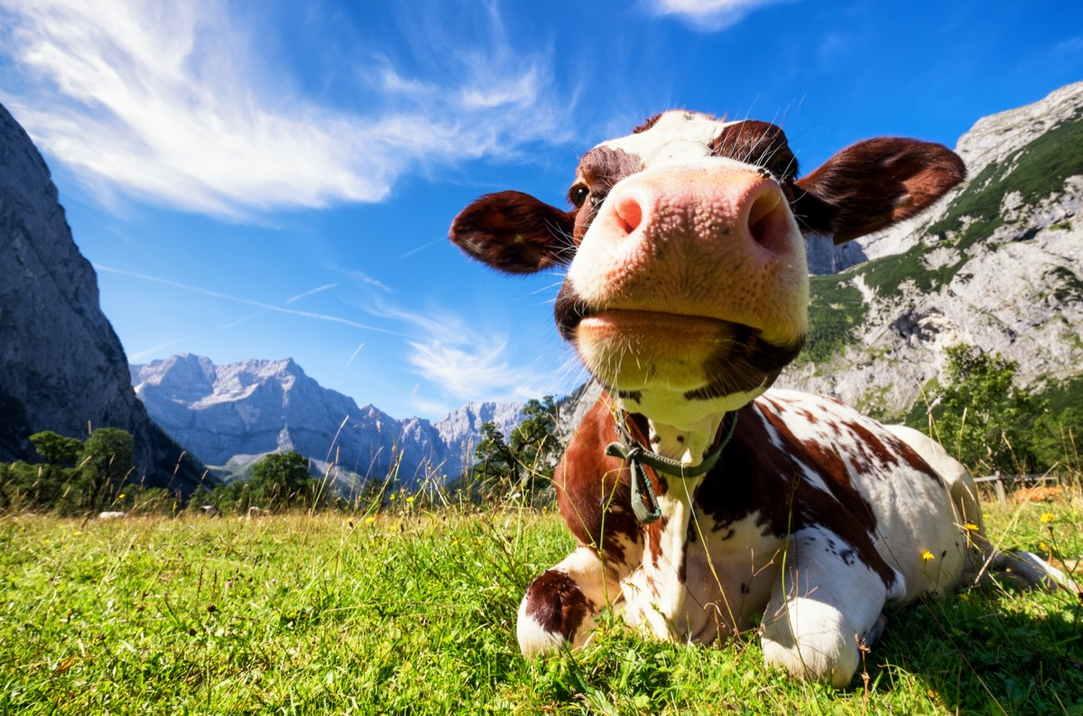 cow in the field, cow photos
