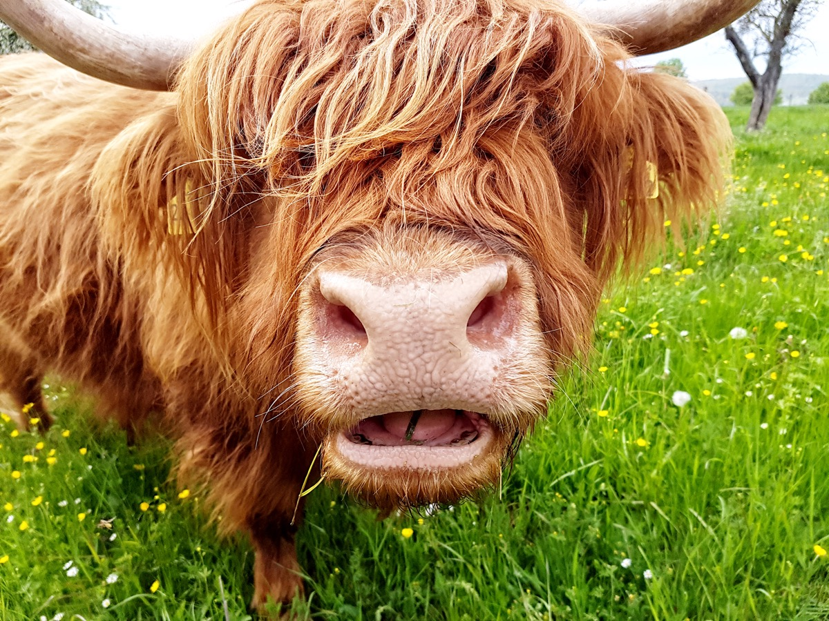 cow with extra long hair, cow photos