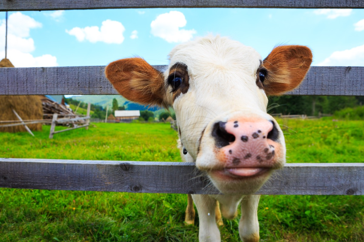 Cow looking through fence