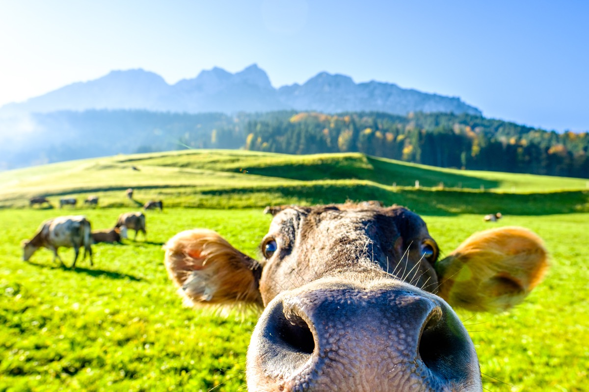 cow up close to the camera, can't reach, cow photos