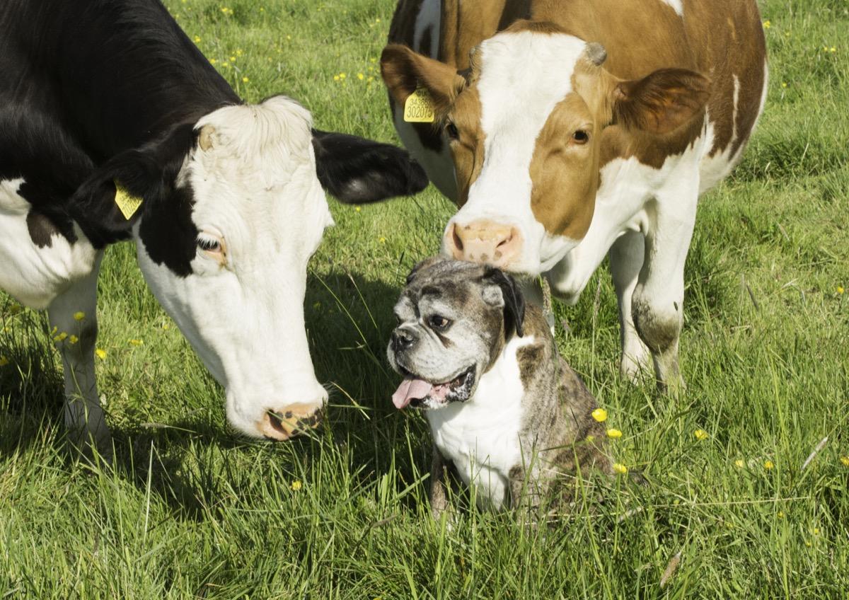 cow with boxer dog, cow photos