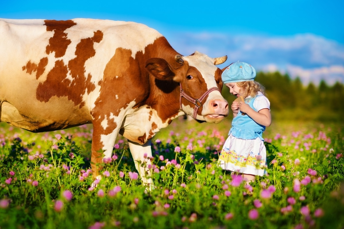 cow with child, cow photos
