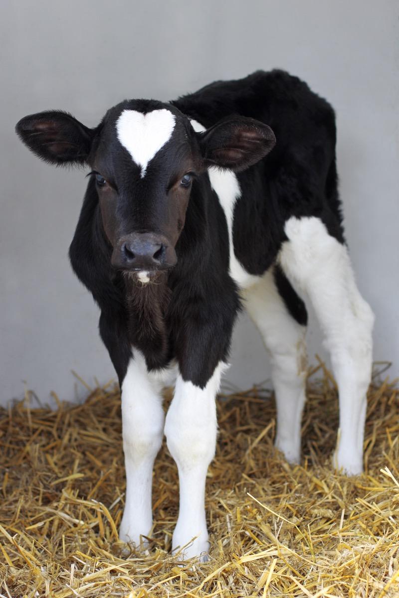 cow with heart on head, cow photos