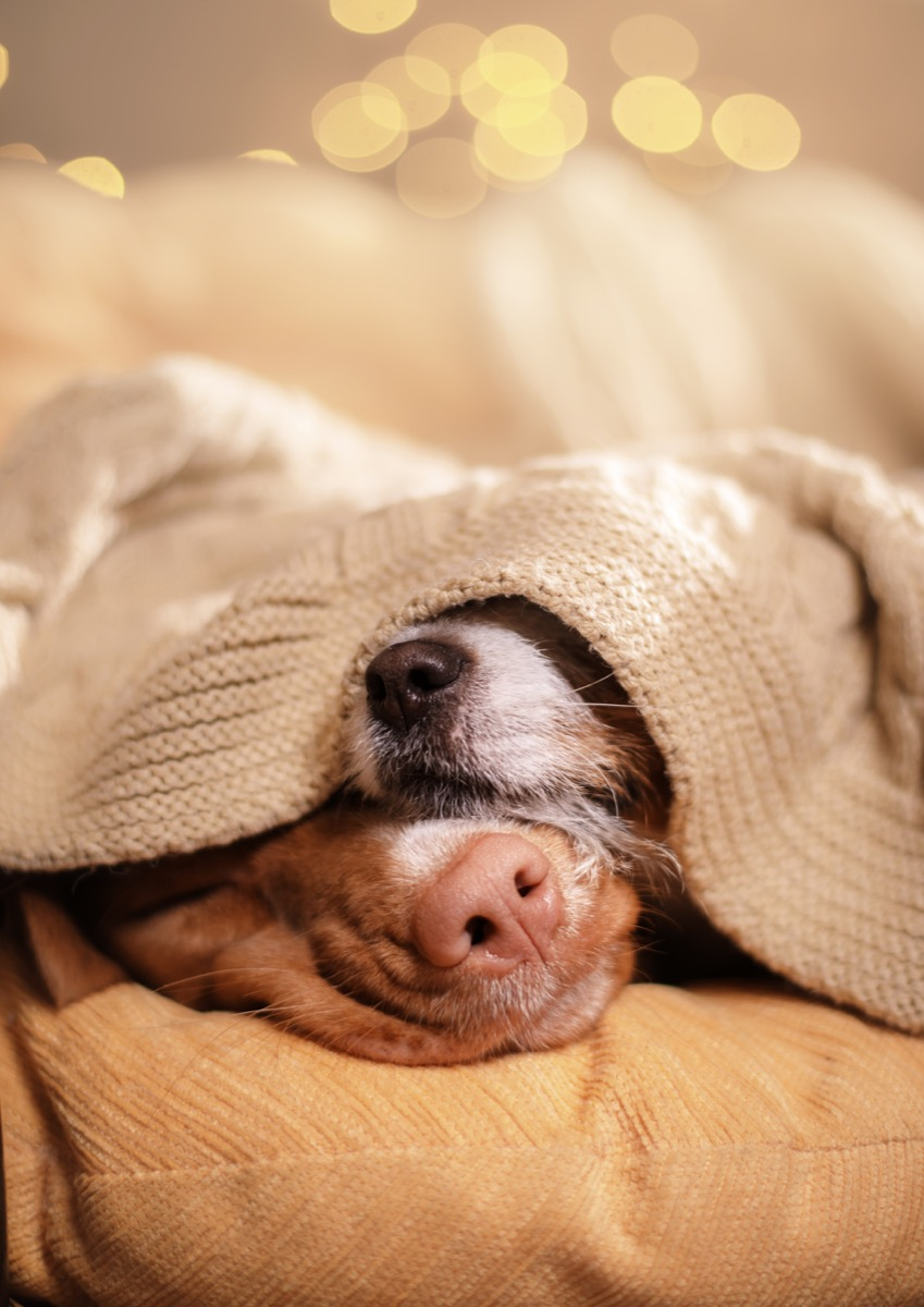 dogs asleep under blanket photos of snoozing dogs