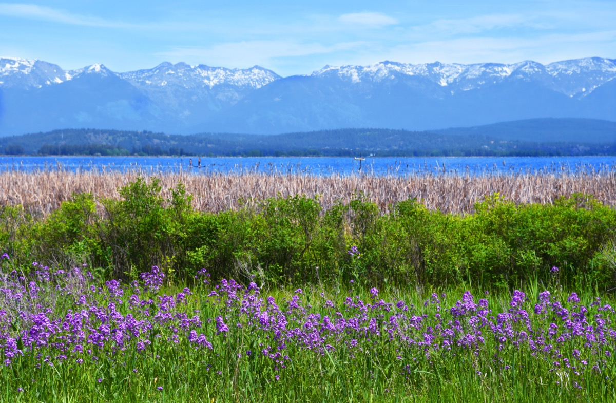 wildflowers in front of flathead lake in montana
