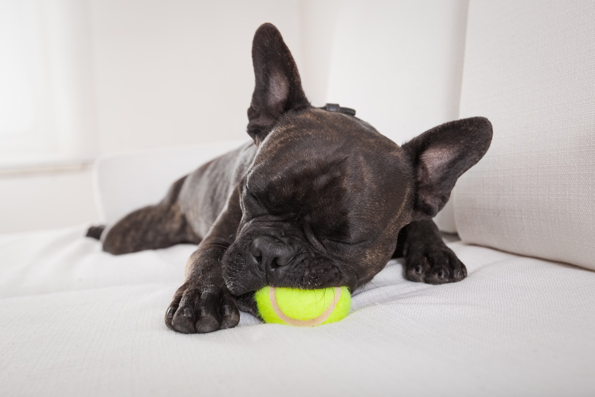 french bulldog sleeping with toy in its mouth photos of snoozing dogs