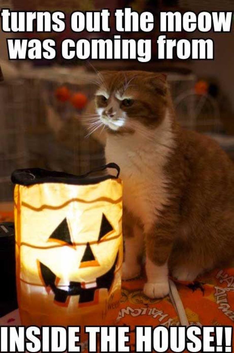 funny halloween meme cat