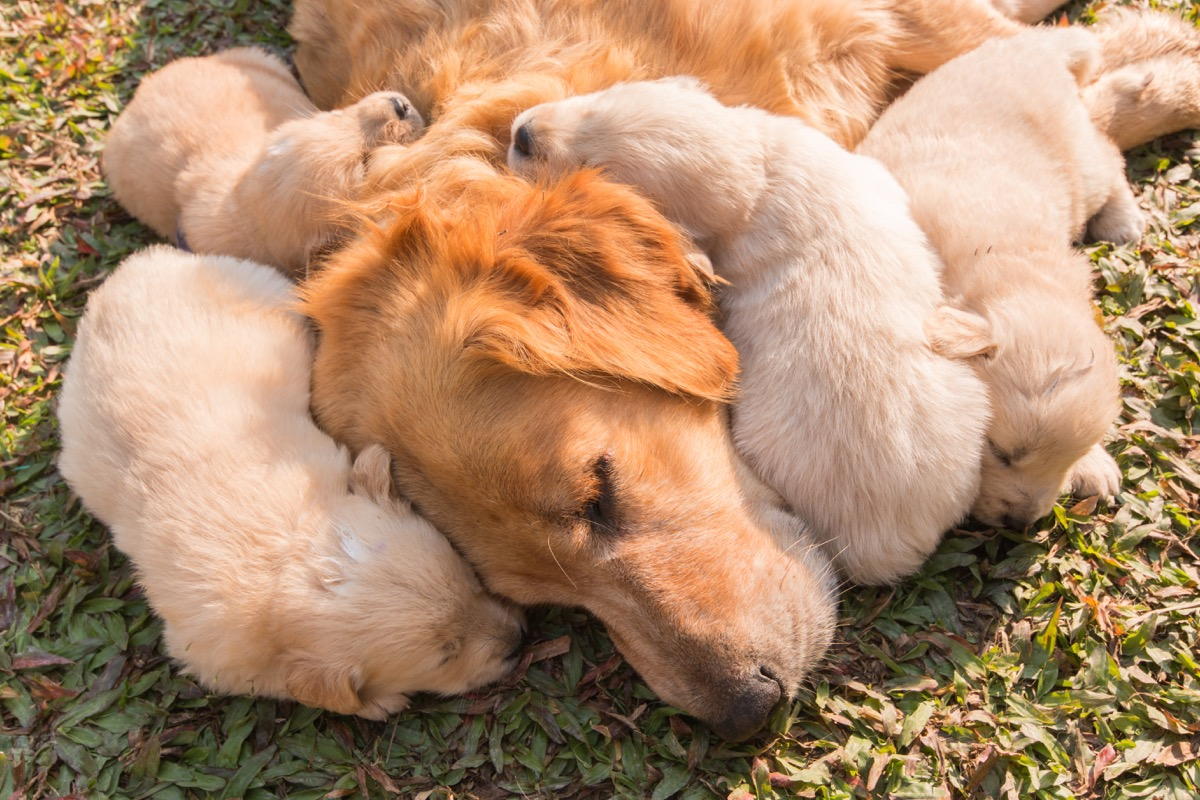 golden retriever mom and puppies sleeping photos of snoozing dogs