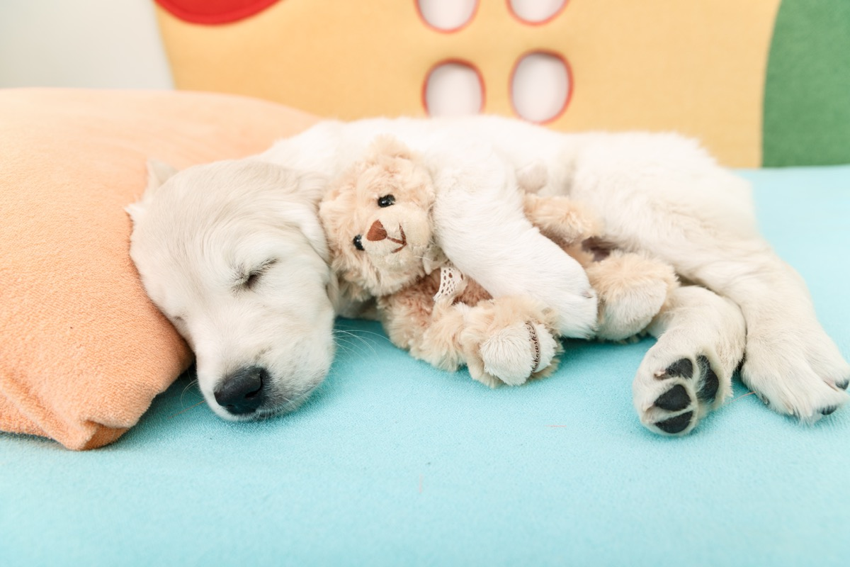 golden retriever puppy sleeping with stuffed animals photos of snoozing dogs