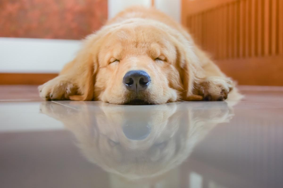 golden retriever sleeping on the floor photos of snoozing dogs