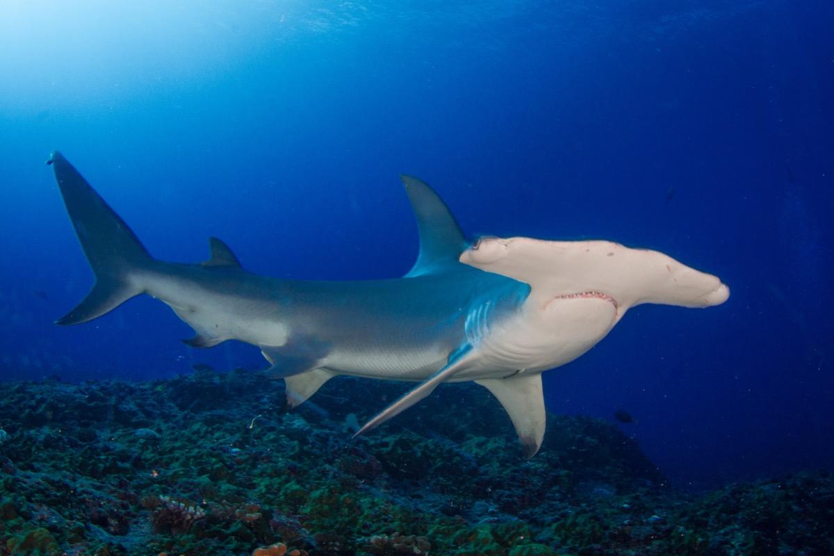 hammerhead shark, shark photos