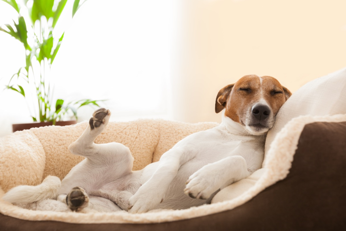 jack russell terrier sleeping in dog bed photos of snoozing dogs