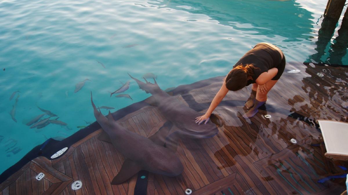 human petting nurse sharks, shark photos