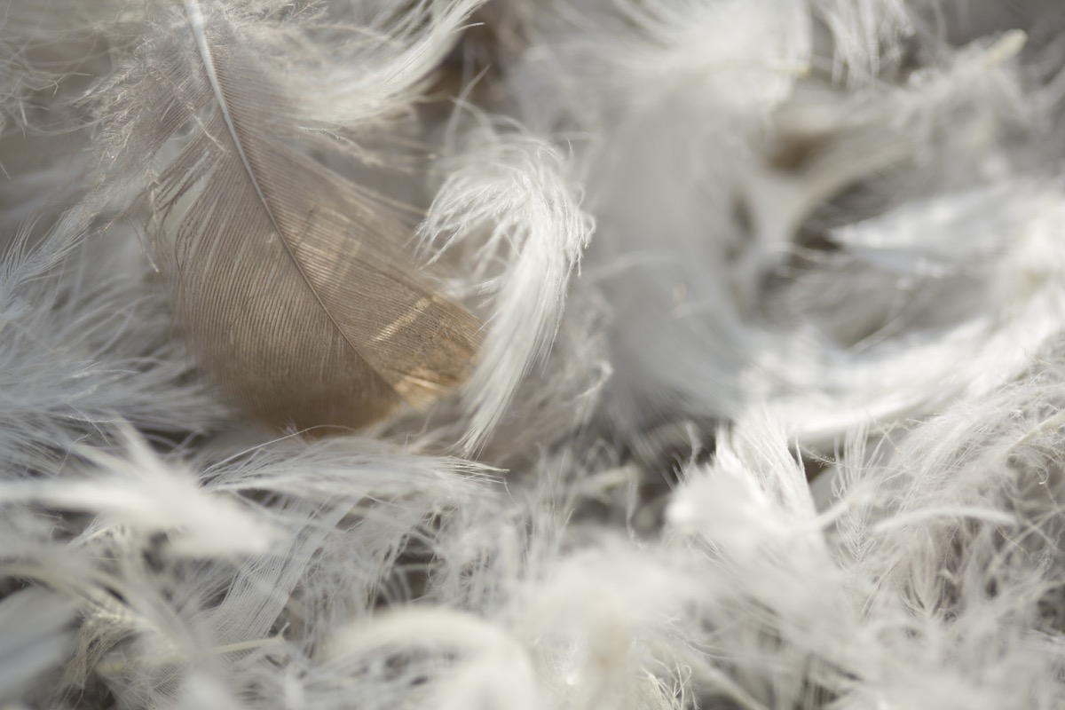 pillow fight feathers, weird state records