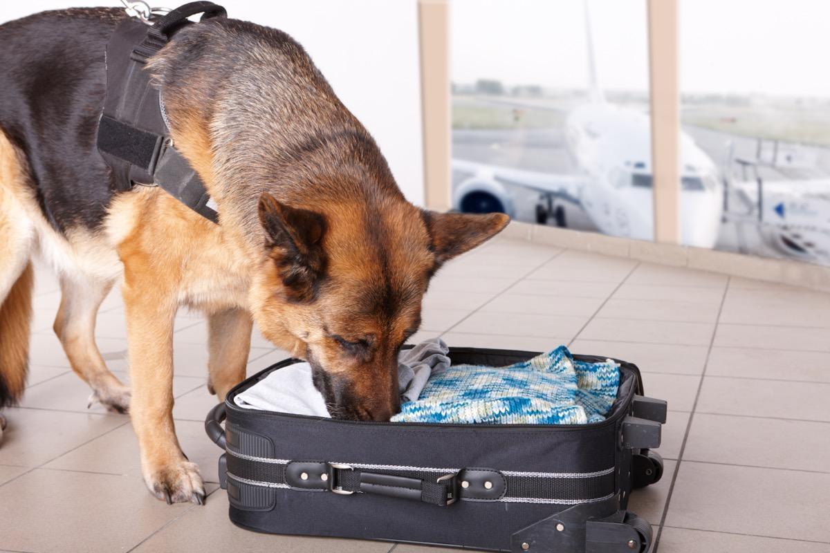 Police Dog Sniffing a Suitcase Police Officer Secrets