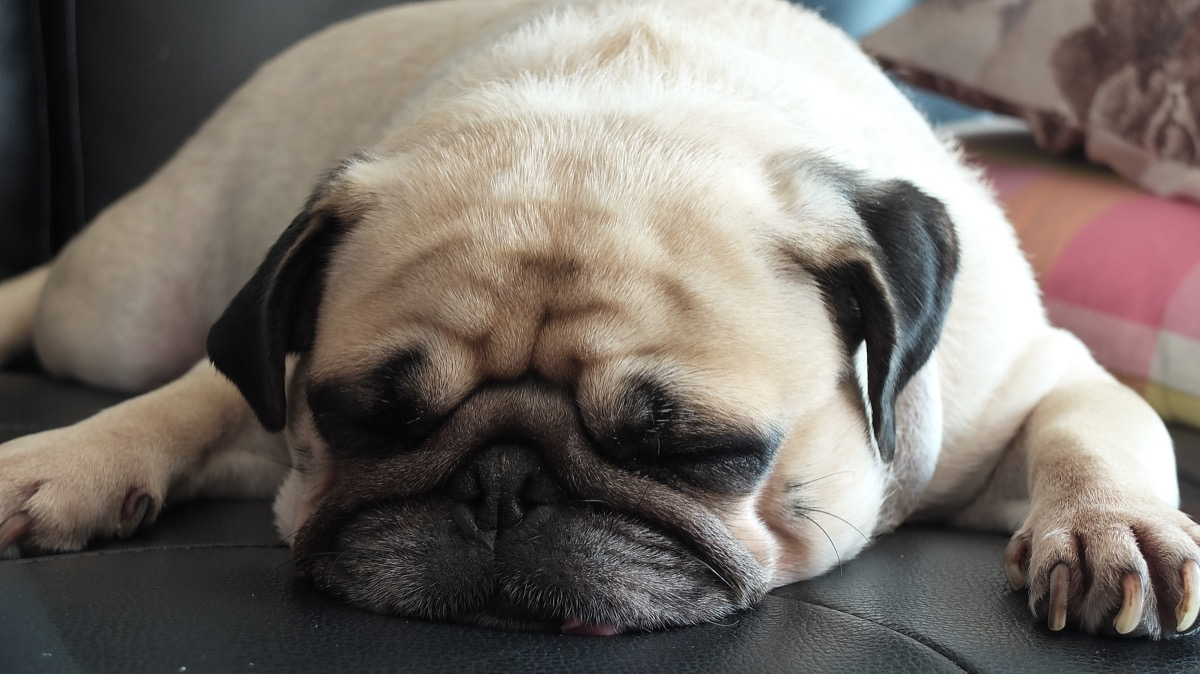 pug sleeping on couch photos of snoozing dogs