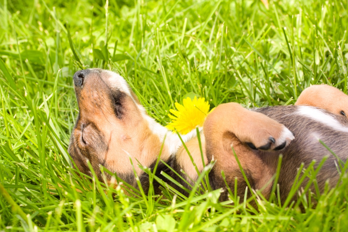 puppy falls asleep on the grass photos of snoozing dogs