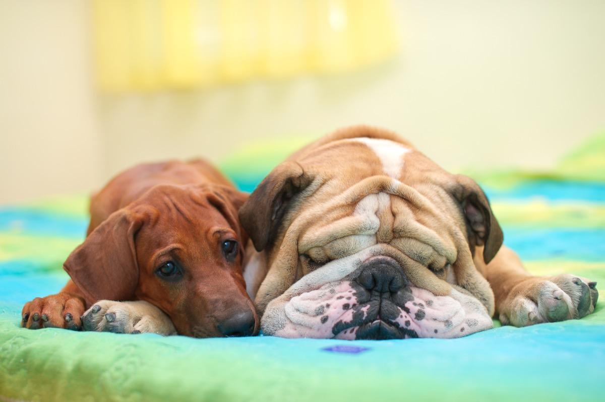 rhodesian ridgeback puppy and english bulldog sleeping photos of snoozing dogs
