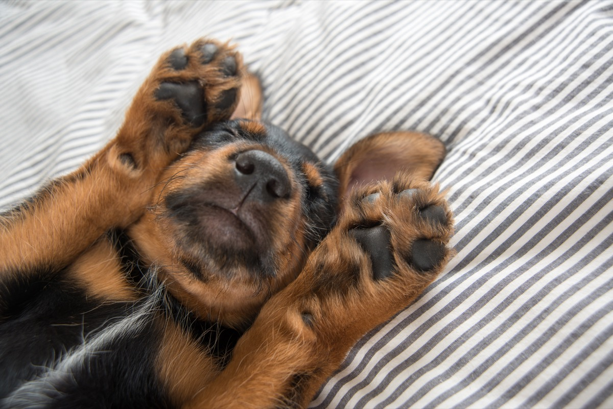 rottweiler mix puppy falls asleep with paws over face photos of snoozing dogs