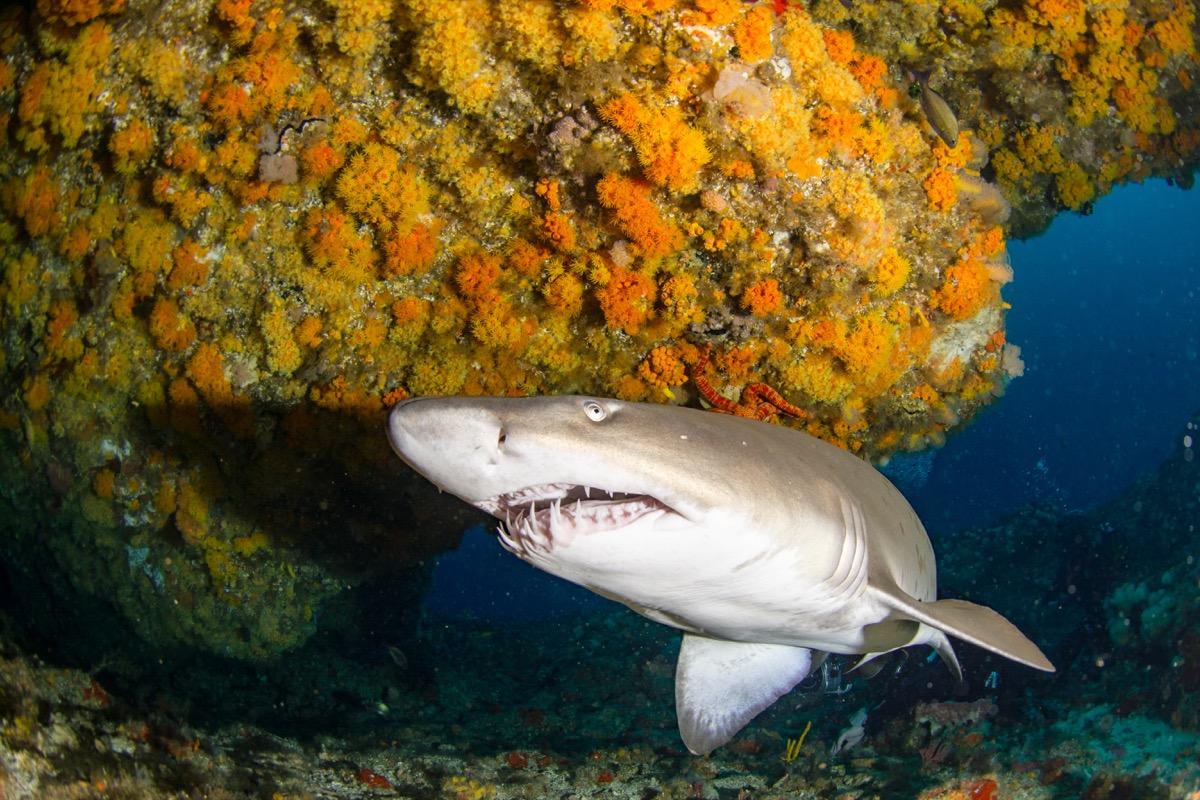 sand tiger shark swimming