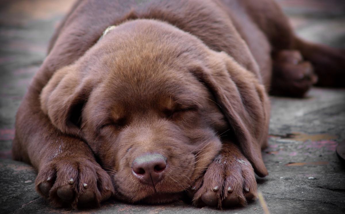 sleeping chocolate labrador puppy photos of snoozing dogs