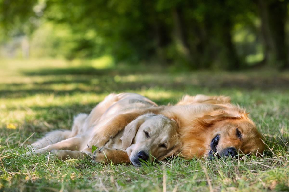 sleeping golden retrievers photos of snoozing dogs