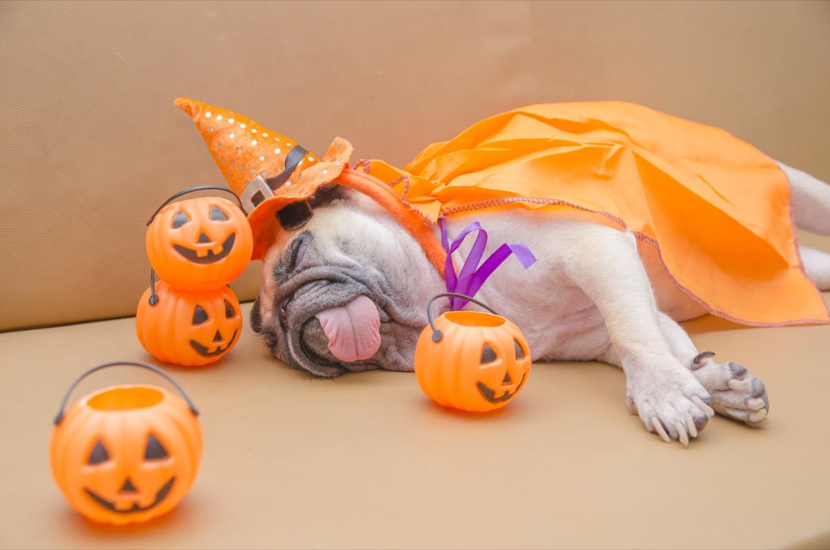 sleeping pug in halloween costume photos of snoozing dogs