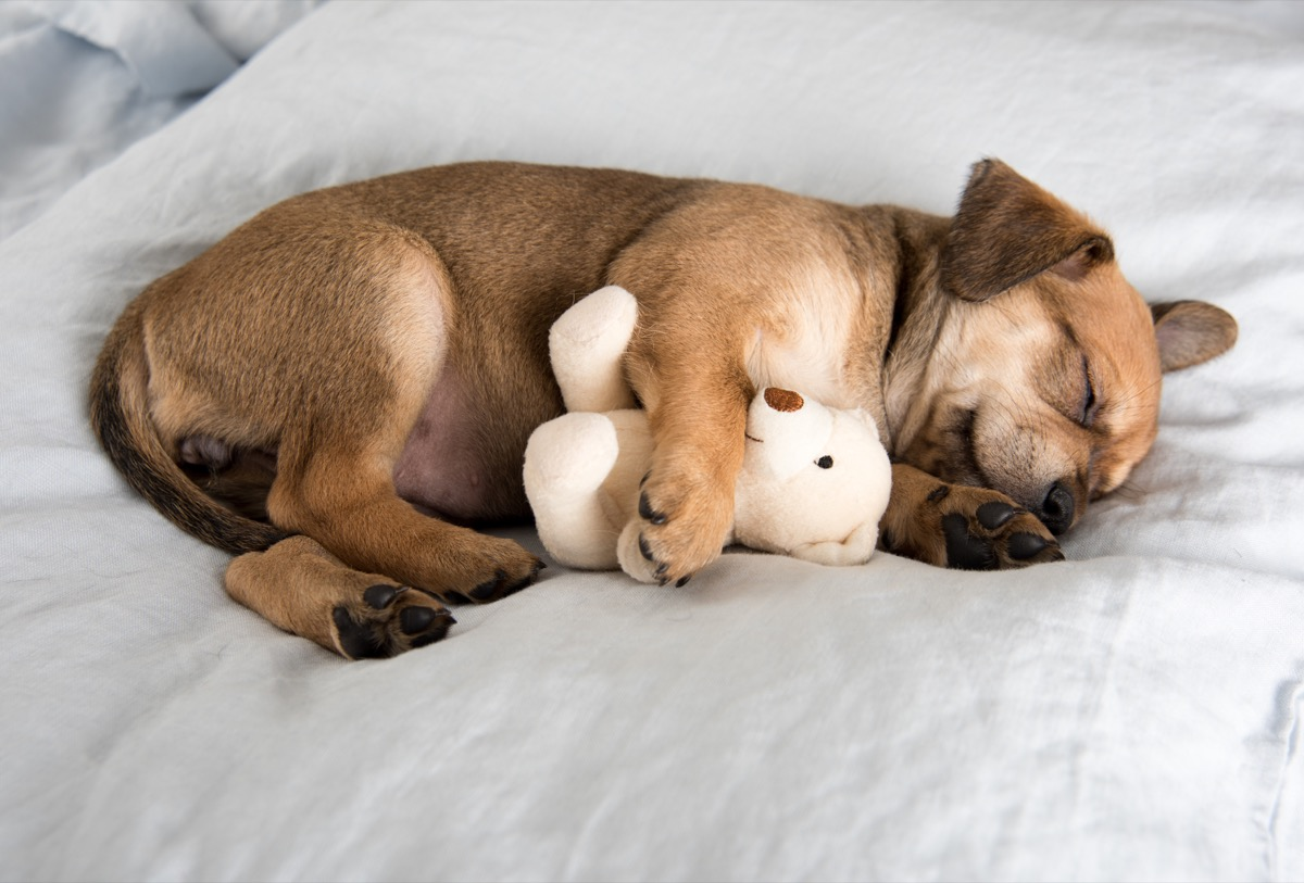 terrier mix puppy sleeping with a stuffed animal photos of snoozing dogs
