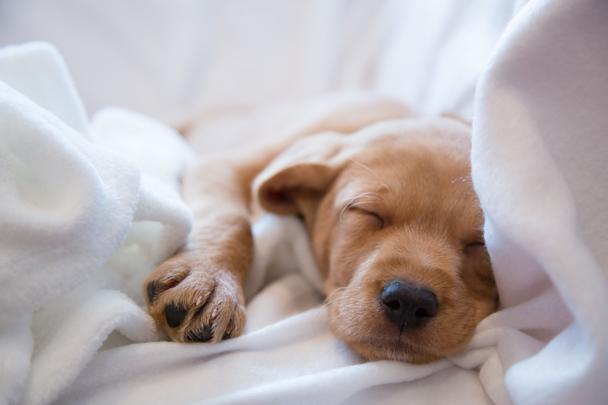 vizsla mix puppy sleeping on bed photos of snoozing dogs