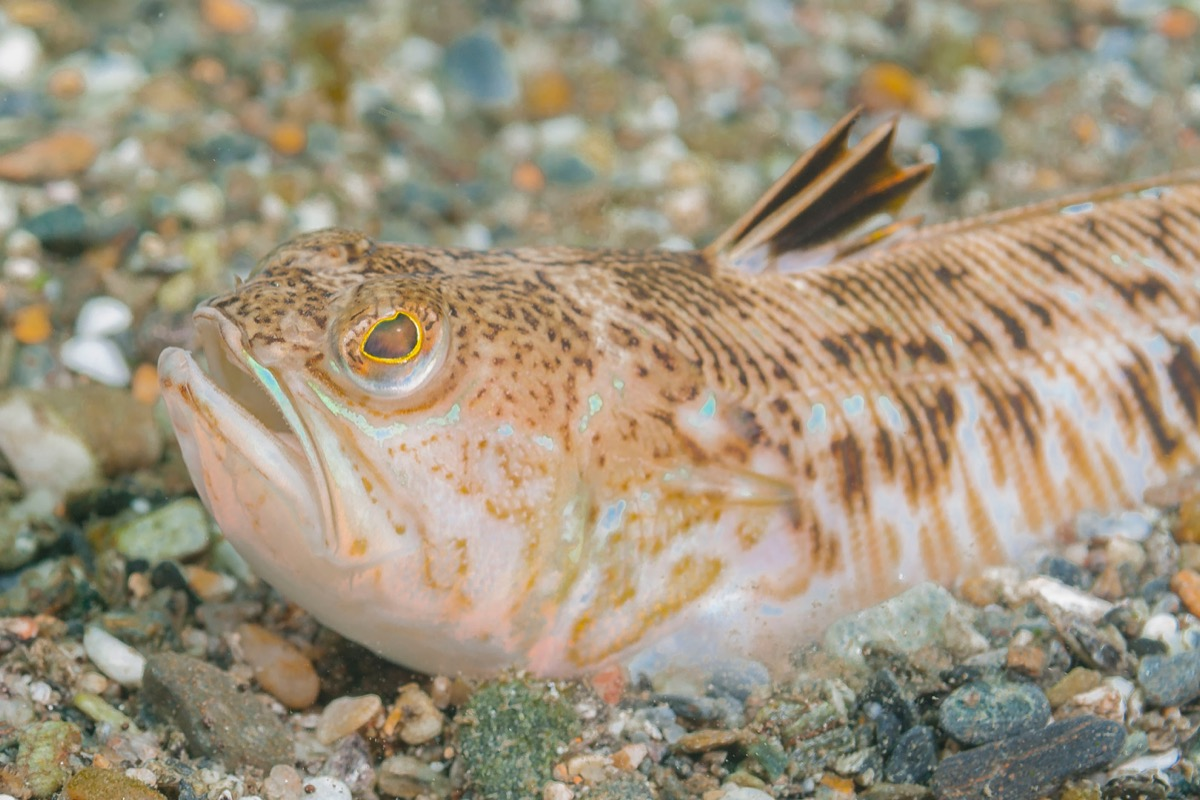 Weever Fish Sea Creatures that Sting