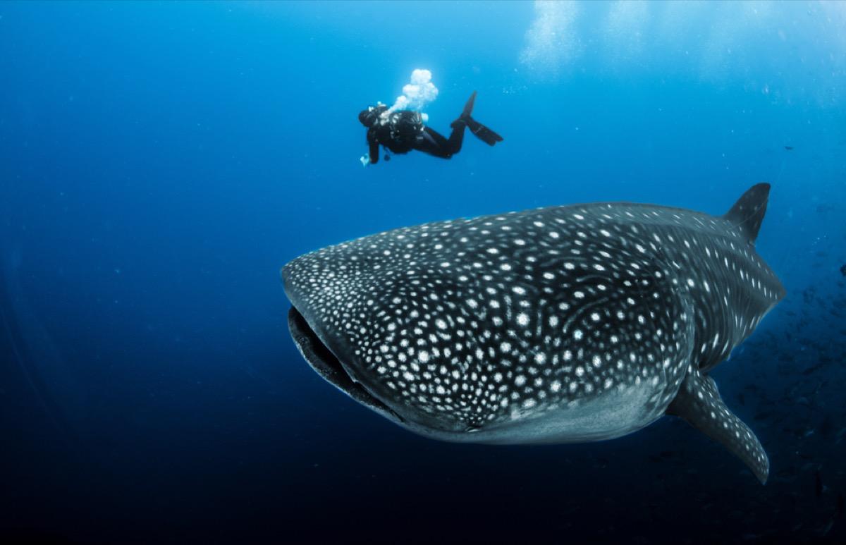 whale shark and diver, shark photos