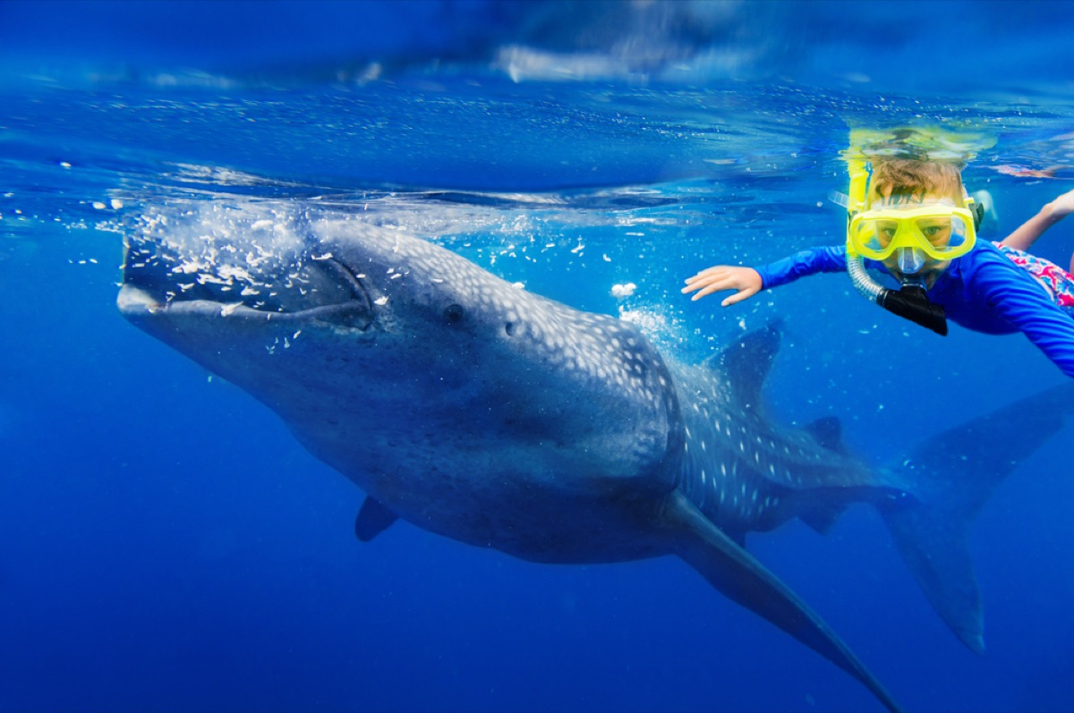 whale shark and snorkeler