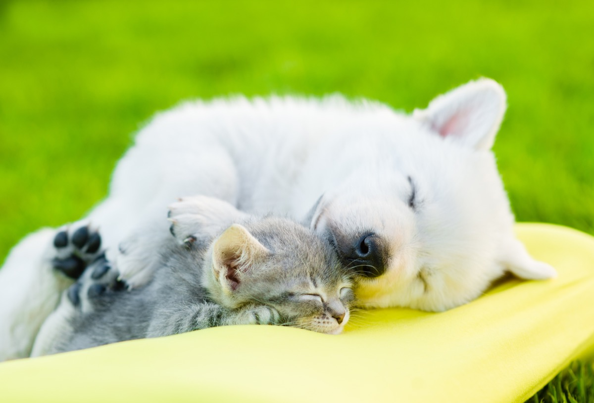 white swiss shepherd sleeping with kitten photos of snoozing dogs
