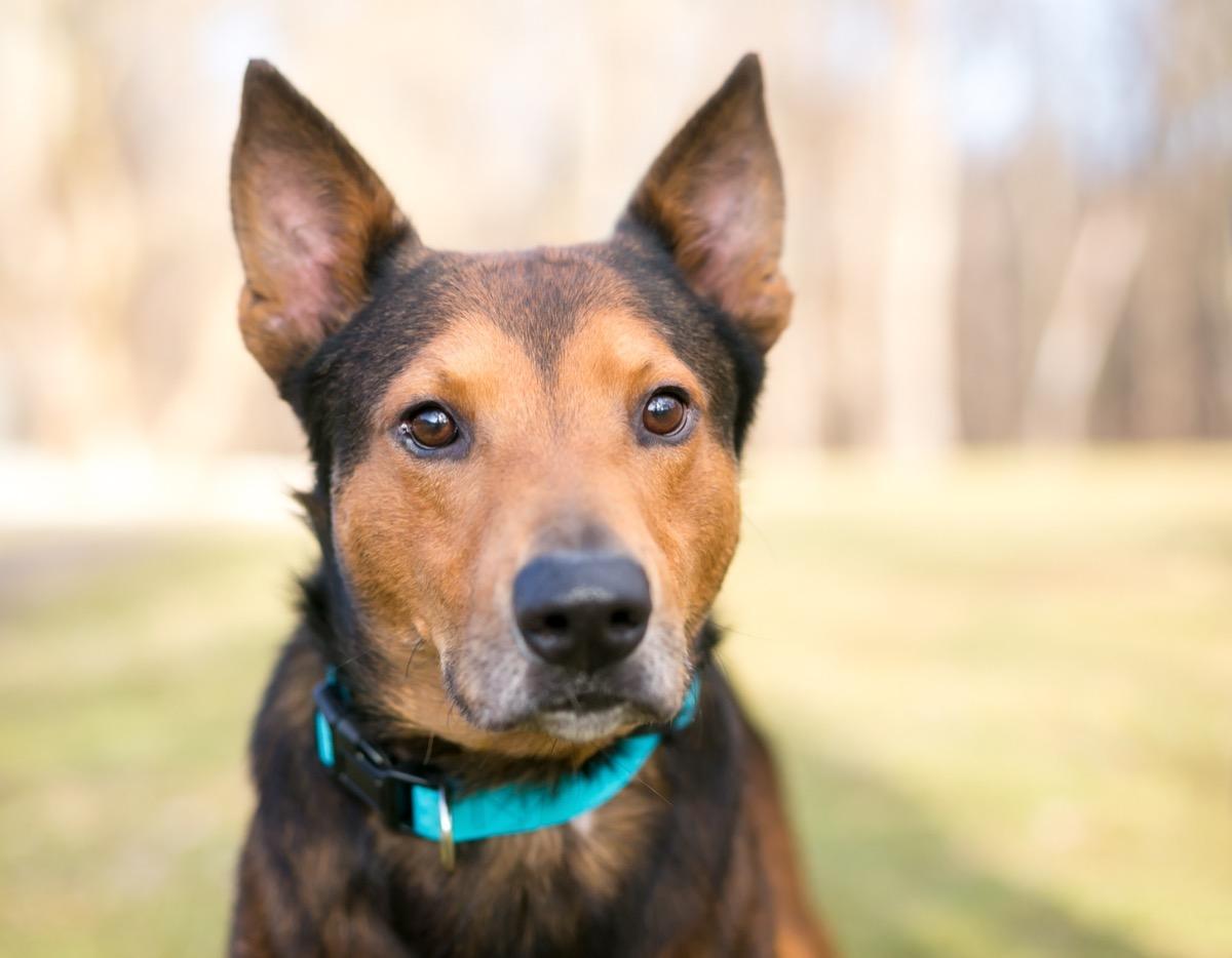 Terrier Shepherd