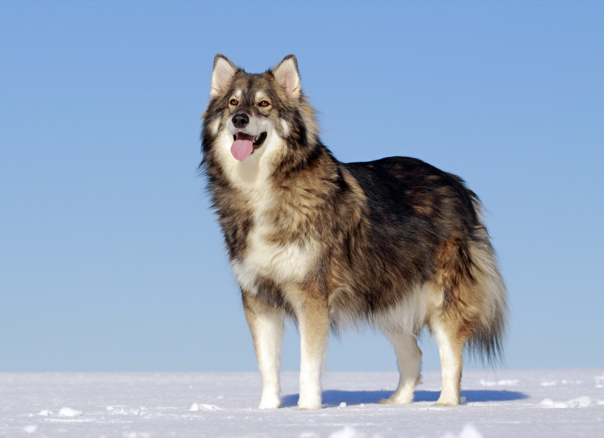 Alaskan Malamute, Siberian Husky, and German Shepherd.