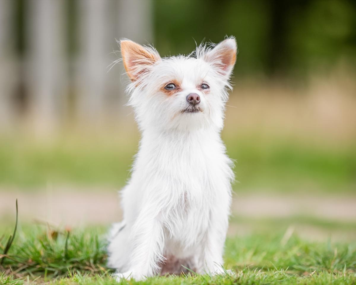 Yorkie/Chihuahua