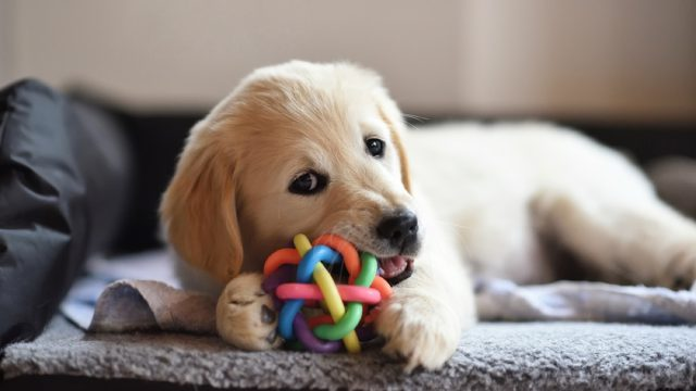 golden retriever puppy chewing ball, best chew toys for puppies