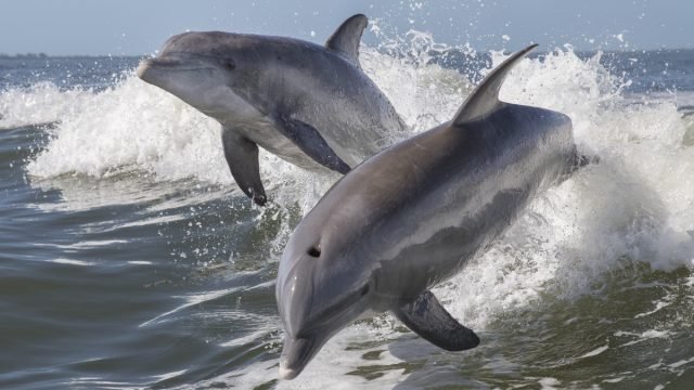dolphins jumping out of water, dangerous animals