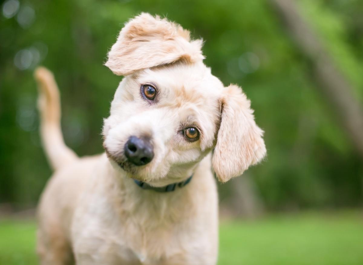 Labrador/Poodle
