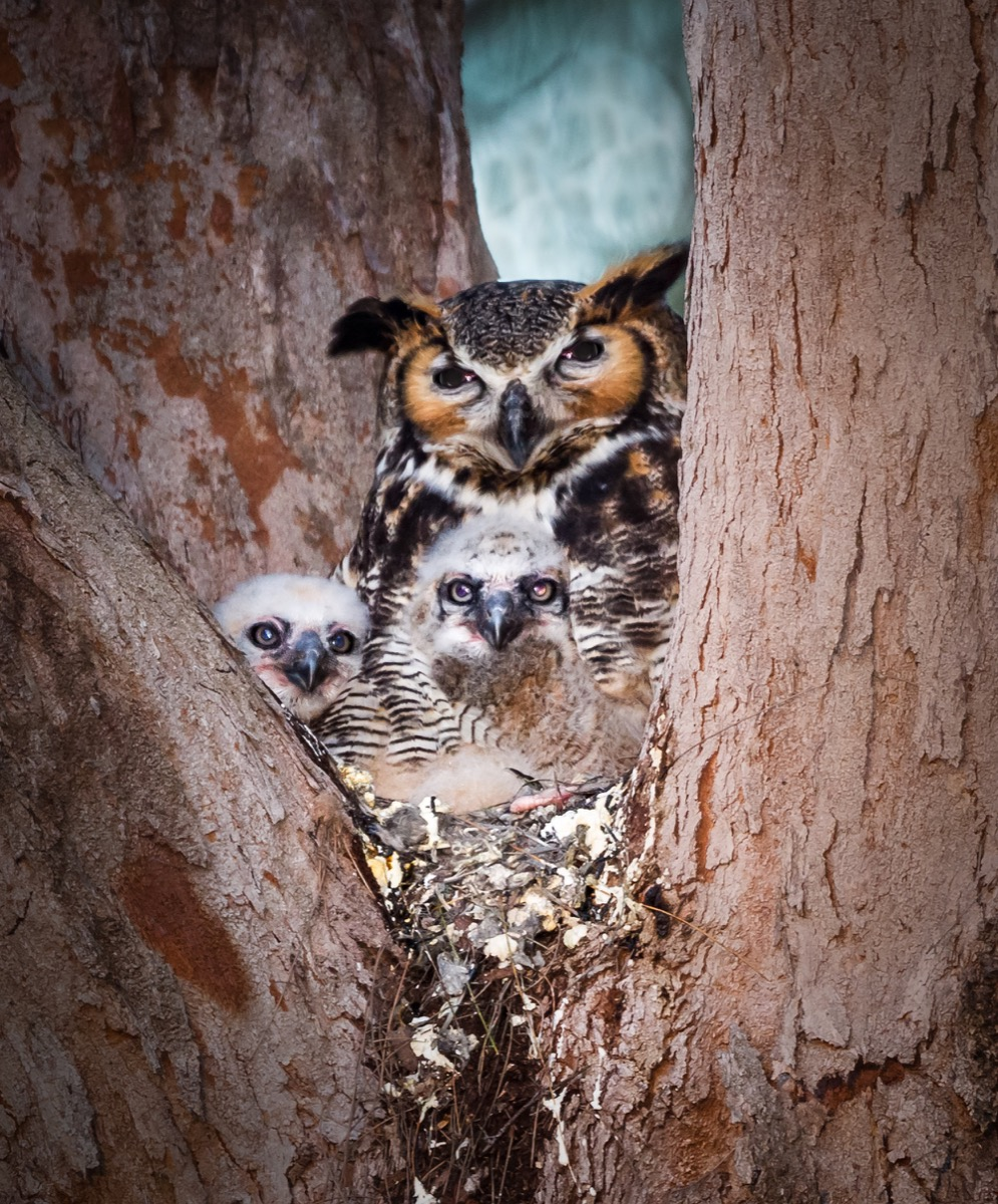 Mother owl with her owlets in nest