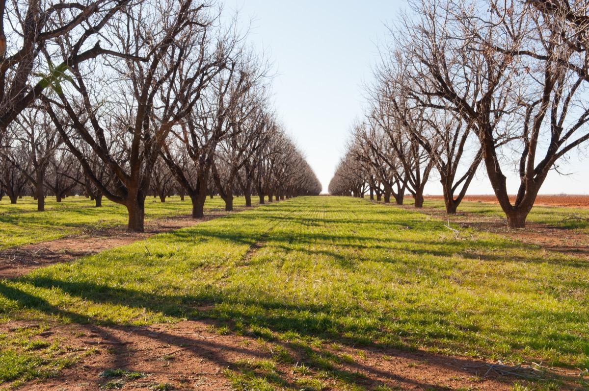 pecan trees in texas