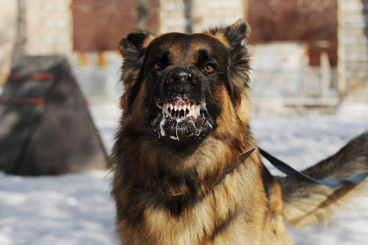 dog with rabies, rabid dog, foaming at the mouth, contagious conditions