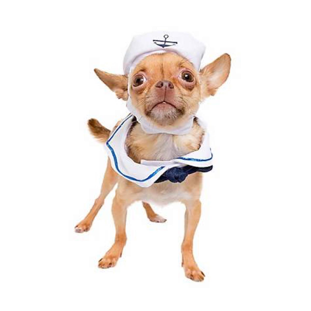 dog in sailor costume, dog halloween costumes