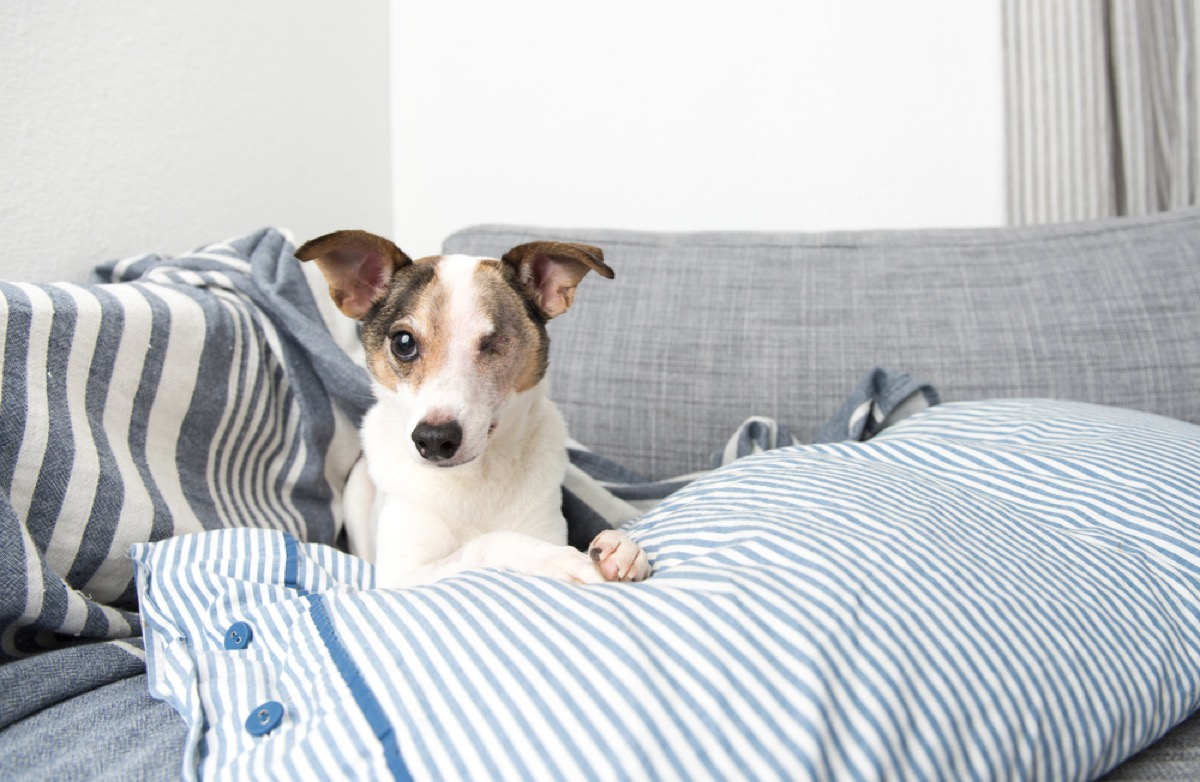 senior jack russell terrier with one eye sitting on sofa