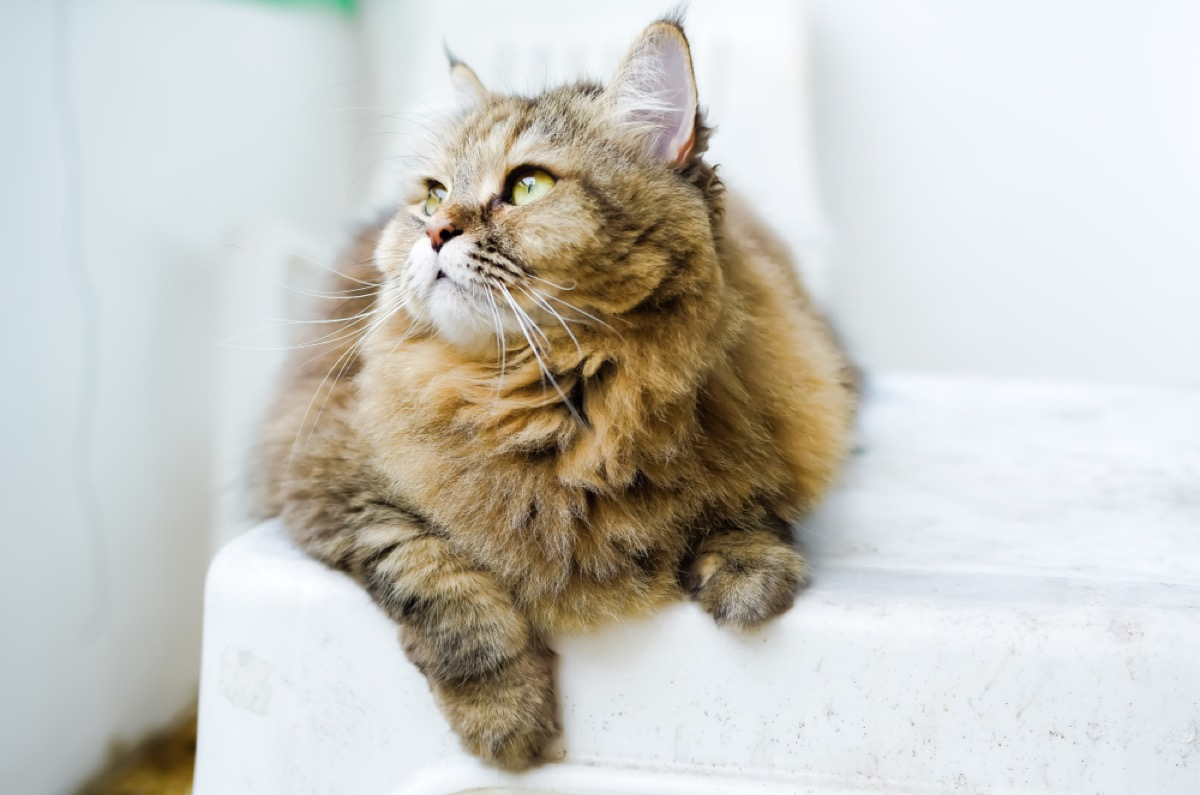 brown tabby cat on white chair