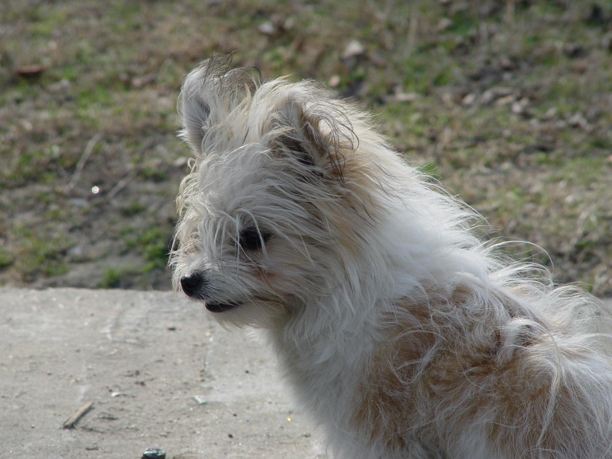 terrier mix white dog