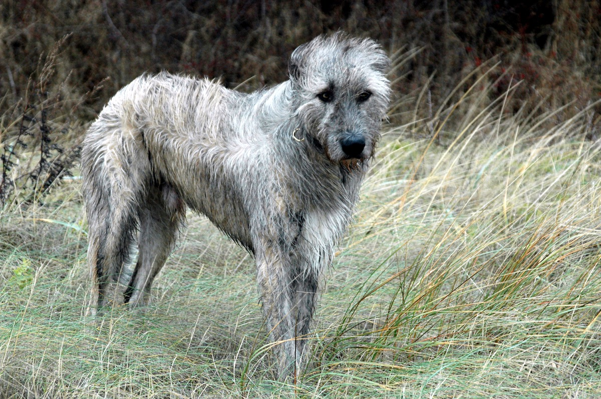 wolfhound dog