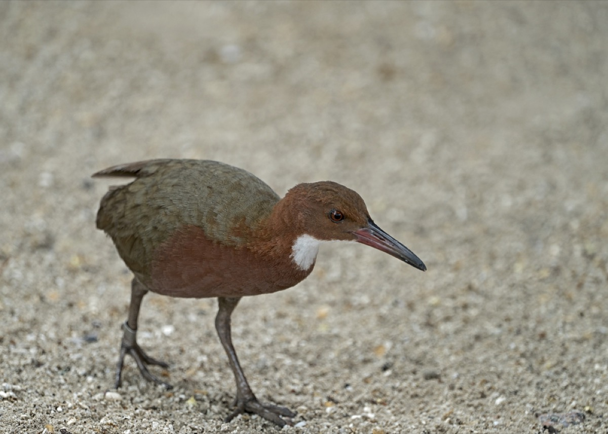 Aldabra white-throated rail walks on ground