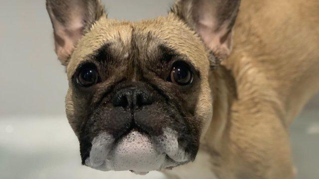 French Bulldog in Bath